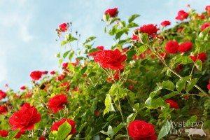 Сад с розами