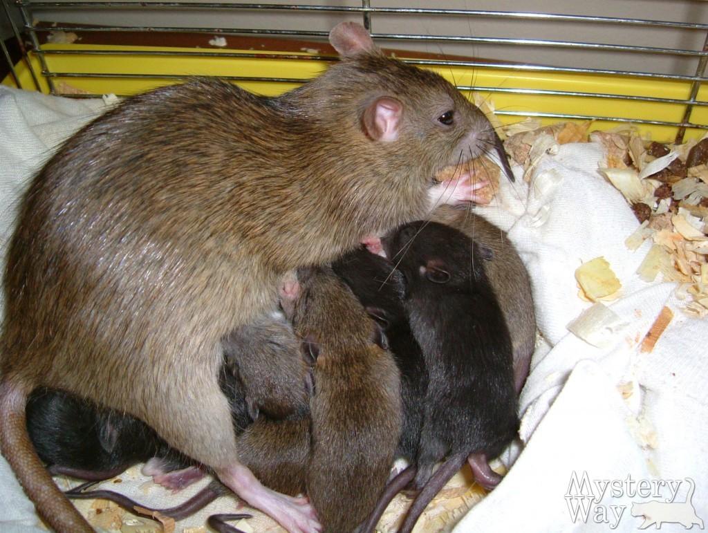 огромная большая крыса