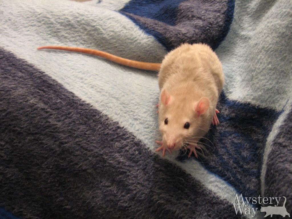 рыжая крыса